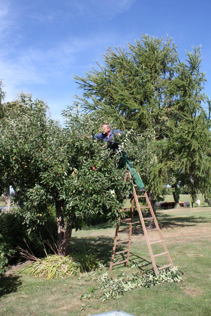 Beskæring af æbletræ for udsigt