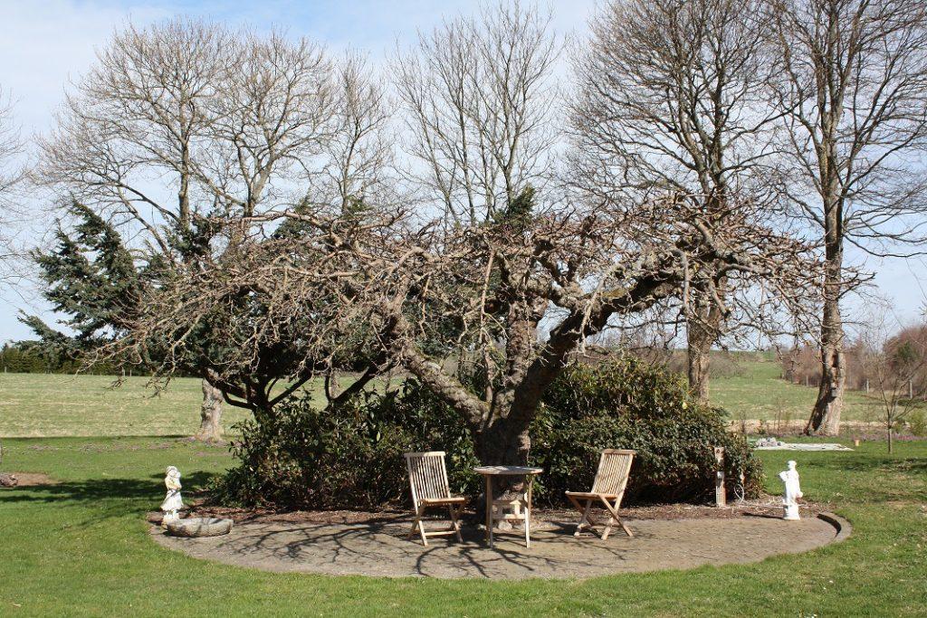 Ældre frugttræ beskåret i paraplyform