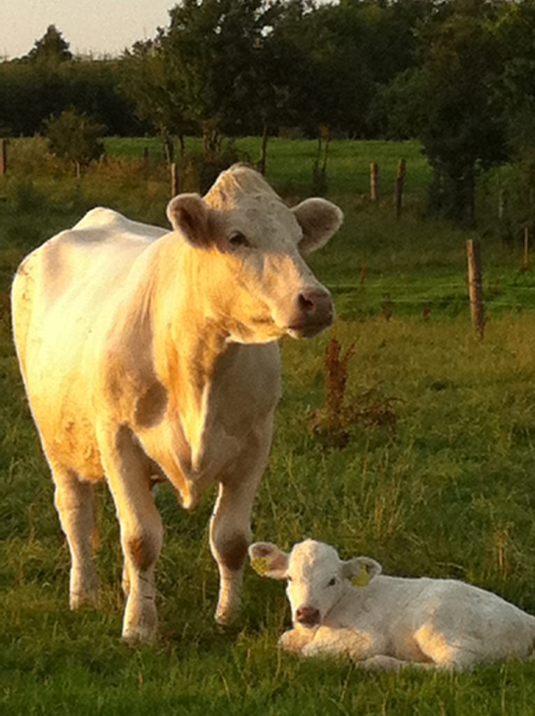 Charolais ko med kalv