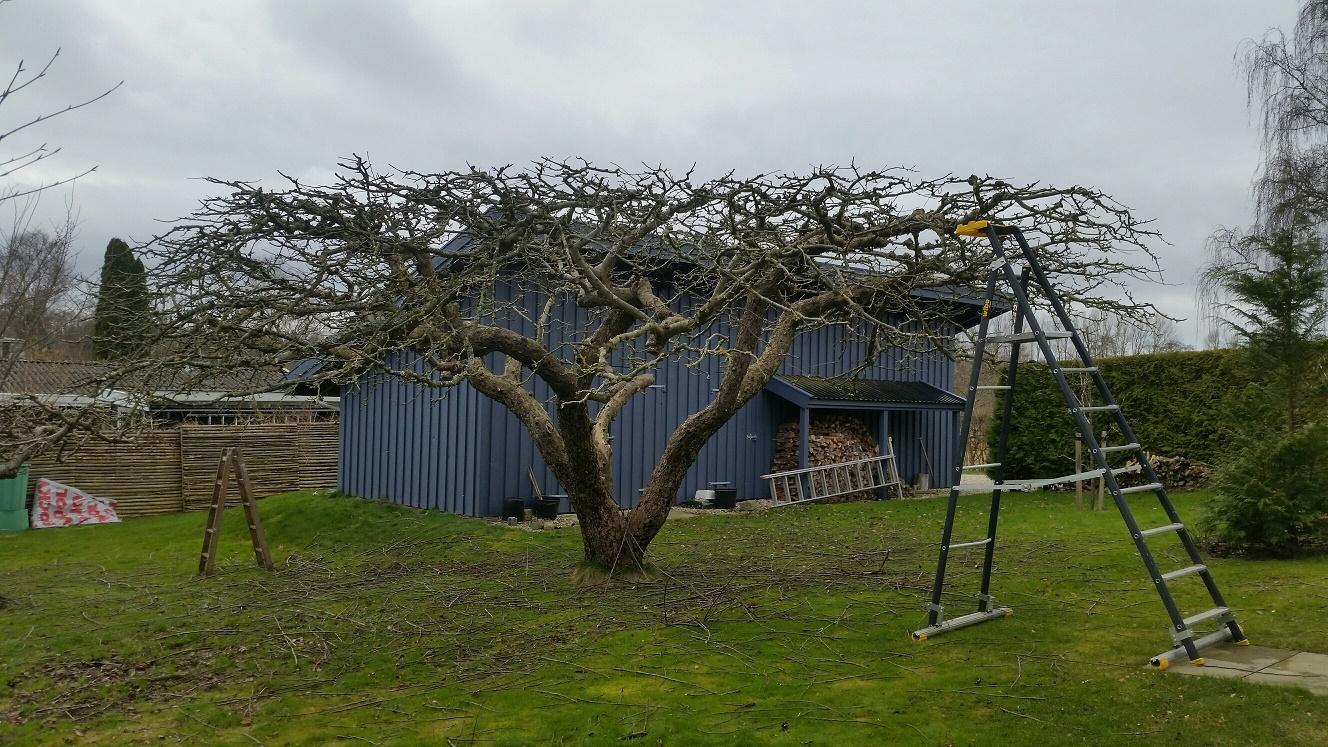 Beskæring af ældre Gråsten æbletræ